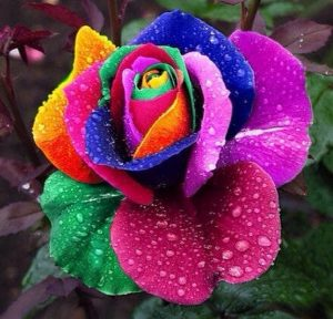 100-Seeds-pack-Rare-Holland-Rainbow-Rose-Seeds-Flower-Home-Garden-rare-rainbow-rose-flower-seeds